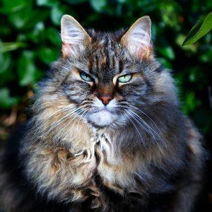 Granule pre staršie mačky